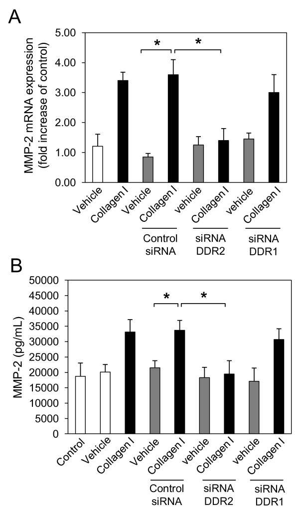Collagen I induces matrix metalloproteinase (MMP)-2 expression through discoidin domain receptor (DDR)2, but not DDR1 in normal human lung fibroblasts (NHLFs) . NHLFs were reverse transfected with negative control small interfering (si)RNA, and DDR2-specific and DDR1-specific siRNA using lipofectamine RNAiMAX. At 48 h after transfection, NHLFs were serum-starved for 24 h and incubated with collagen I (25 μg/mL) or vehicle (acetic acid, 0.1 M) for 16 h. Total RNA was isolated, reverse transcribed and real-time quantitative PCR was performed using the TaqMan system with specific primers and TaqMan probes for human, MMP-2 (A) , and glyceraldehyde 3-phosphate dehydrogenase <t>(GAPDH).</t> The expression changes (fold increase) were calculated relative to unstimulated control cells after normalizing with GAPDH. Results are representative of mean fold increase ± SD of three independent experiments performed in triplicate (n = 9, * P