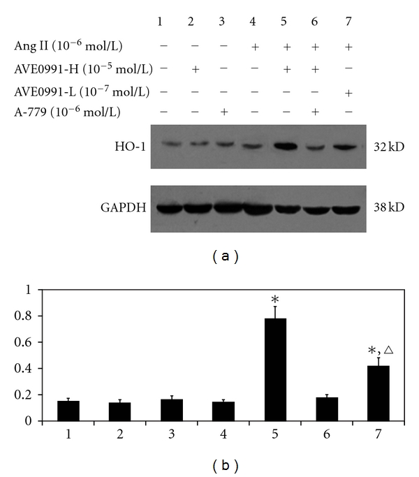 The effect of AVE0991 on HO-1 protein expression in VSMCs that were induced by Ang II. * P