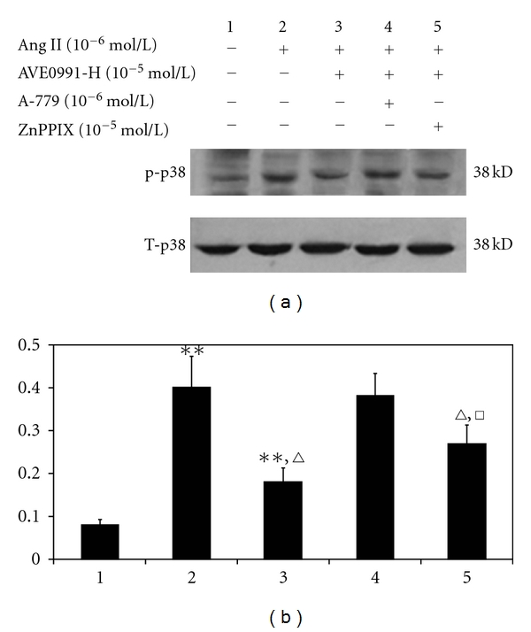 The effect of AVE0991 on the p38 phosphorylation level in VSMCs when combined with the HO-1 inhibitor ZnPPIX. ** P