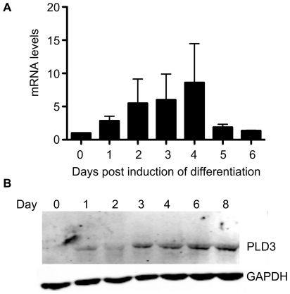 PLD3 expression increases during myogenic differentiation. ( A ) C2C12 cells were induced to differentiate for the indicated periods of time and RNA extracts prepared using RNeasy (Qiagen). Equal amounts of RNA were used as templates in quantitative RT-PCR with PLD3- and GAPDH-specific primers used for amplification, and performed in quadruplicate. The amount of PLD3 mRNA was normalized to the amounts amplified for GAPDH. ( B ) C2C12 cells were induced to differentiate for the indicated number of days and whole cell lysates collected. Equal amounts of lysate protein, as determined by Bradford reagent, were loaded onto SDS-polyacrylamide gels, and the subsequent blot probed with anti-PLD3 and anti-GAPDH antibodies. Representative blot of at least 3 independent experiments.