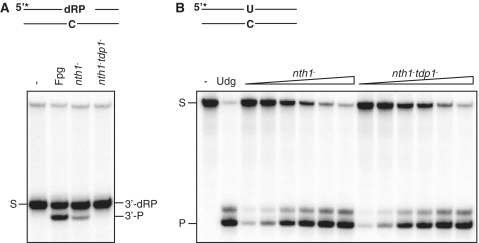Tdp1 possesses 3′-α,β-unsaturated aldehyde activity leaving a 3′-P terminus. ( A ) Assay for processing 3′-dRP termini. Ten micrograms total protein extracts from nth1 − (RHP357) and tdp1 − nth1 − (RHP378) cells were analyzed for cleavage of an Nth-nicked ds AP substrate as described in Figure 1 A. The substrate (S; 3′-dRP) and the cleavage product (3′-P) are indicated. Escherichia coli Fpg was used as a positive control for the 3′-P cleavage product. ( B ) Udg activity in the nth1 − and tdp1 − nth1 − extracts. The nth1 − and tdp1 − nth1 − extracts (0.03, 0.06, 0.12, 0.25, 0.5 and 1.0 µg; as in A) were incubated with 10 fmol duplex DNA containing an uracil (opposite C) in reaction buffer for 30 min at 37°C, following incubation with 100 mM NaOH for 10 min at 70°C. The cleavage products were separated on a sequencing gel and visualized by phosphorimaging. The substrate (S) and the cleavage product (P) are indicated. Escherichia coli Udg was used as a positive control.