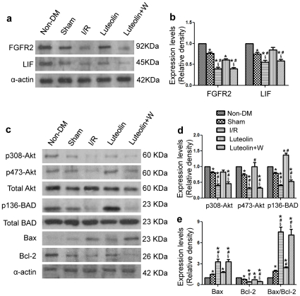 Western blot analysis. Western blot analysis revealed that Luteolin treatment increased the expression of antiapoptotic proteins FGFR2 and LIF as compared with the I/R group and wortmannin group (a, b). Luteolin also enhanced phosphorylation of Akt and BAD, increased Bax expression while decreased Bcl-2 expression resulted in decreased Bax/Bcl-2 ratio in cardiac tissue that were exposed to I/R injury (c, d, e). The PI3K inhibitor wortmannin abolished the effects of Luteolin on antiapoptotic proteins expression. The columns and errors bars represent means and SD. * p