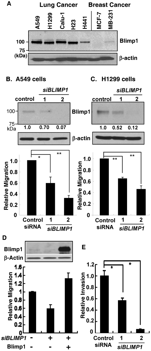 Blimp1 is expressed in lung cancer cells and its knockdown reduces migration. (A) Samples of nuclear extracts (20 µg) of A549, H1299, Calu-1, H23 and H441 human lung cancer cells and MCF-7 and MDA-MB-231 (MB-231) breast cancer cells were subjected to immunoblotting for Blimp1 and β-actin, as a control for equal loading. Positions of molecular weight markers are given in the left lane. A representative of two independent experiments with similar results is shown. (B) A549 and (C) H1299 cells were transiently transfected with 10 nM each of siBLIMP1-1 , siBLIMP1-2 or a scrambled negative control siRNA. Upper panels: Forty-eight h after transfection, WCE (30 µg) were subjected to immunoblotting for Blimp1 and β-actin. The bands were quantified using NIH Image J software and Blimp1 expression normalized to β-actin expression. Normalized Blimp1 expression was determined in two independent experiments and the average values are given below the blots. Lower panels: Alternatively, after 24 h, cultures were trypsinized and 1×10 5 cells subjected to a migration assay for 16 h, in triplicate. The average migration from three independent experiments ± SD is presented relative to the negative control siRNA (set at 1.0). P values were calculated using Student's t -test. *, P