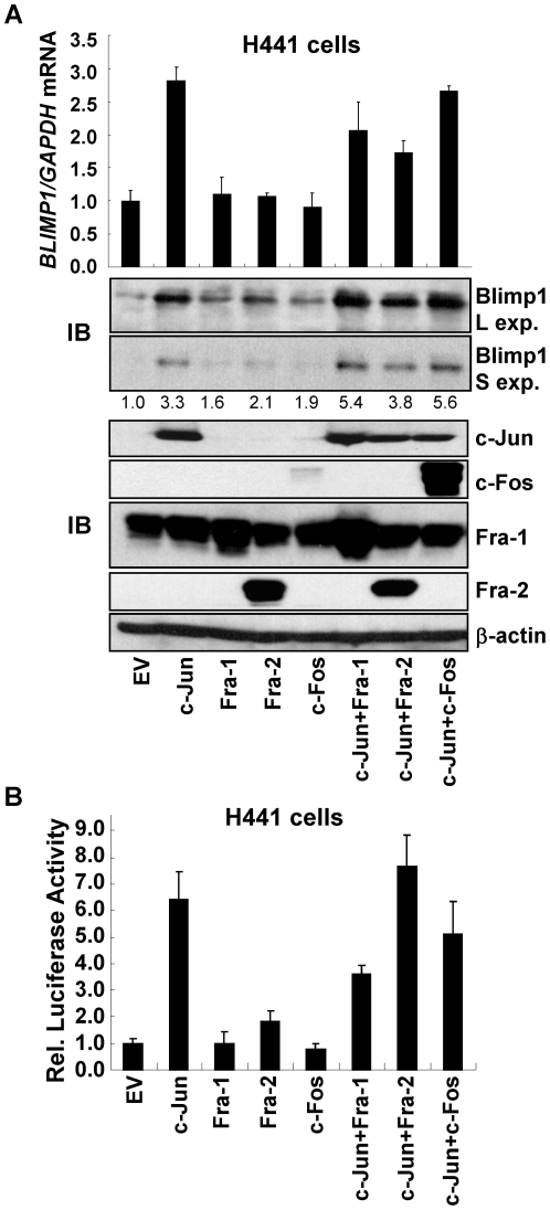 Ectopic AP-1 subunits induce Blimp1 expression. (A) H441 cells, growing in 6-well plates, were transfected with 1 µg of vectors expressing the indicated AP-1 subunits or EV DNA (see bottom) to make a 2 µg total. Upper panel. After 48 h, RNA was isolated and subjected to Q-PCR. The levels of BLIMP1 mRNA normalized to GAPDH mRNA are presented as mean ± SD of three independent experiments. Middle and lower panels. WCE were isolated and subjected to immunoblotting (IB) for Blimp1 (Middle panels), and for c-Jun, Fra-1, Fra-2, c-Fos and β-actin (Lower panels). (L exp., longer exposure; S exp., shorter exposure). Blimp1 levels, normalized to β-actin, were determined as in Fig. 1C and average values from two independent experiments presented relative to EV DNA, set to 1.0. (B) H441 cells were transiently transfected, in triplicate, with 0.3 µg of Blimp1 -Luc, 0.3 µg of MSV-β-gal, and vectors expressing the indicated AP-1 subunits (0.15 µg each) and EV DNA to a total of 1.0 µg DNA. Normalized values of Blimp1 promoter activity are presented as the mean ± SEM from two experiments (EV DNA set to 1.0).