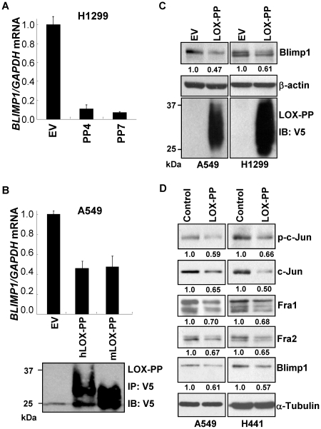 Ectopic LOX-PP reduces Blimp1 expression in lung cancer cells. (A) H1299-EV cells, and H1299-LOX-PP4 (PP4) and H1299-LOX-PP7 (PP7) clones, isolated as described previously [25] , were treated in triplicate with 2 µg/ml dox for 48 h. RNA from two independent experiments was subjected to Q-PCR and normalized values for BLIMP1 mRNA relative to GAPDH levels are presented as the mean ± SEM (EV DNA set to 1.0). (B) A549-EV, A549-hLOX-PP, A549-mLOX-PP dox-inducible stable populations were treated with 2 µg/ml dox for 48 h in DMEM supplemented with 0.5% FBS. FBS was added back to 10% and cells incubated overnight. RNA from two independent experiments was subjected to Q-PCR and normalized values for BLIMP1 mRNA relative to GAPDH levels are presented as the mean ± SEM (EV DNA set to 1.0). Samples of medium (5 ml) were subjected to immunoprecipitation followed by immunoblotting using V5 antibody for LOX-PP expression. (C) A549 and H1299 cells were transiently transfected with human LOX-PP cDNA or EV DNA. After 48 h, media and WCE were prepared. Samples of media (50 µl) were subjected to immunoblotting for V5. Samples of WCE (25 µg) were probed for Blimp1 and β-actin, and average normalized Blimp1 values from two independent experiments presented relative to EV DNA, set to 1.0. (D) A549 and H441 cells were treated with purified recombinant LOX-PP protein at a final concentration of 4 or 1 µg/ml, respectively, or the same volume of vehicle (water) in medium with 0.5% FBS. Twenty-four h later, FBS was added back to 10% and cultures incubated overnight. WCE were subjected to immunoblotting for Blimp1, phospho-c-Jun (p-c-Jun), total c-Jun, Fra-1 and Fra-2 and α-tubulin, as a loading control. Normalized Blimp1 and AP-1 subunit values from two independent experiments are presented relative to EV DNA, set to 1.0.