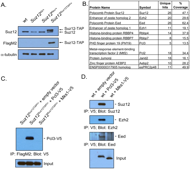 Pcl3 is a component of PRC2. (A) Protein levels of Suz12 and Suz12-TAP were measured in wild type, Suz12 Gt/+ , Suz12 Rev/+ , and Suz12 Suz12TAP/+ cell lines by immunoblot. (B) Proteins detected by mass spectrometry that specifically co-purified with Suz12-TAP, their symbol, unique hits, and percent coverage. (C) Pcl3-V5 binds to Suz12-TAP. Suz12 Suz12TAP/+ ESCs were transfected with empty vector, Pcl3-V5, or Mks1-V5 (control), and lysates were immunoprecipitated with FlagM2 and probed with anti-V5. (D) Pcl3-V5 binds Suz12, Ezh2, and Eed. Lysates from ESCs transfected with empty vector, Pcl3-V5, and Mks1-V5 (control) vectors were subjected to immunoprecipitation with anti-V5. Samples were then probed with anti-Suz12, anti-Ezh3, and anti-Eed. All westerns and co-immunoprecipitations were performed three times.
