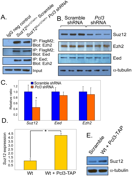 Pcl3 regulates Suz12, but not complex stability. (A) PRC2 components associate in the absence of Pcl3 based on co-immunoprecipitation. β-actin used as a loading control. (B) Protein levels of Suz12, Ezh2, and Eed in scramble and Pcl3 shRNA clones as measured by immunoblot. Experiments were performed with 3–6 scramble and Pcl3 shRNA clones each. (C) Expression levels of Suz12 , Ezh2 , and Eed in scramble and Pcl3 shRNA measured by qRT-PCR. (D) Suz12 mRNA levels measured by qRT-PCR in wild type and Pcl3 overexpressing cells. (E) Suz12 protein levels in wild type cells and wild type cells overexpressing Pcl3-TAP . All immunoblot and co-immunoprecipitation experiments were performed 2–5 times. All expression analysis represents three experiments assayed in quadruplicate. Error bars represent standard deviation, and asterisk indicates statistical significance of p