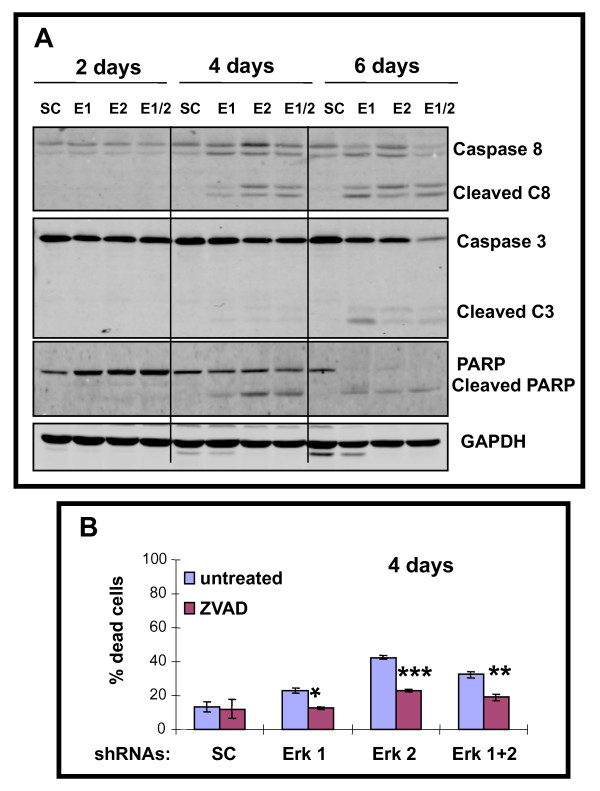 ERK1 and/or ERK2 shRNA triggers <t>caspase</t> cascade including PARP cleavage, and caspase inhibitor partial block of killing of A375 cells . A . Western blot analysis of caspase 3, caspase 8 and PARP including both intact (inactive) and cleaved (active) forms in A375 cells on days 2, 4 and 6 following exposure to shRNAs. GAPDH confirms equivalent loading. B) . Addition of pan-caspase inhibitor, <t>ZVAD</t> (20 mM; last 2 days) reduces killing of A375 cells triggered by ERK1 and/or ERK2 shRNA. Histograms represent the means +/- SEM from 3 independent experiments. Statistical significance portrayed as follows: * p
