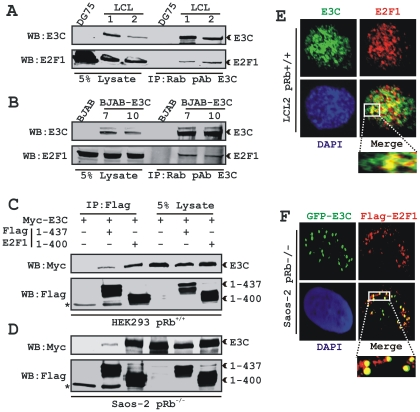 EBNA3C forms a pRb independent complex with E2F1. 50 million A) DG75 and two LCL clones (LCL1 and 2) and B) BJAB and two BJAB stable clones expressing EBNA3C (E3C7 and E3C10) were subjected to immunoprecipitation (IP) with EBNA3C specific rabbit antibody. Samples were resolved by SDS-PAGE and detected by western blot (WB) for the indicated proteins by stripping and reprobing the same membrane. 10 million C) HEK293 (pRb +/+ ) or D) Saos-2 (pRb −/− ) cells were co-transfected with plasmids expressing myc-EBNA3C either in the presence of vector control, wild-type flag-E2F1 (residues 1–437) or pRb binding deficient flag-E2F1 (residues 1–400) as indicated. At 36 h post-transfection, cells were harvested, lysed in RIPA buffer and IP with flag-antibody. Samples were western blotted (WB) with the indicated antibodies. The asterisks indicate the immunoglobulin bands. E) EBV transformed cells LCL2 were plated and air-dried onto slides. F) Saos-2 (pRb −/− ) cells plated on coverslips were co-transfected with plasmids expressing GFP-EBNA3C with flag-E2F1 using Lipofectamine 2000 as per manufactures instructions. E) Endogenously and F) ectopically expressed E2F1 were detected by either specific rabbit antibody (C-20) or mouse M2-antibody, respectively, followed by specific anti-Alexa Fluor 594 2 0 antibody (red). A) Endogenous EBNA3C in EBV positive LCLs was detected using an EBNA3C-specific antibody (A10 ascites) followed by 2 0 antibody anti-mouse Alexa Fluor 488 (green). Ectopically expressed GFP-EBNA3C in Saos-2 cells was detected by GFP fluorescence. The nuclei were subsequently stained with DAPI and the images were captured using an Olympus confocal microscope. All panels are representative pictures from approximately 100 cells of 10 different fields of three independent experiments.