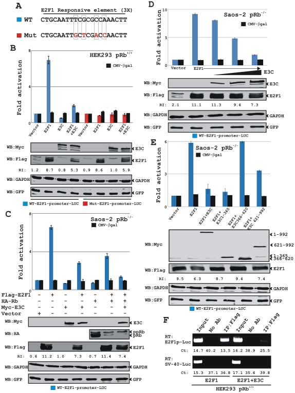 Co-expression of EBNA3C blocks E2F1 mediated transcriptional activity. A) The schematic represents three wild-type (WT) and three mutant (Mut) copies of the E2F1 responsive promoter element fused with the luciferase gene in pGL2Basic. B) HEK 293 (pRb +/+ ) cells were co-transfected with either 10 µg of WT (blue) or Mut (red) E2F1 reporter plasmids in combinations of expression plasmids for myc-EBNA3C and flag-E2F1 as indicated. C–E) Saos-2 (pRb −/− ) cells were transfected with WT E2F1 reporter plasmid in the presence of different expression constructs as indicated. Cells were additionally transfected with 5 µg of pCMV-βgal and pEGFP-C1 expression vectors to normalize transfection efficiency. At 36 h post-transfection, cells were harvested and lysed in reporter lysis buffer. Total amount of proteins were normalized by Bradford assay and both luciferase and β-galactosidase activities were measured as described in ' Materials and Methods ' section. Mean values and standard deviations of three independent experiments are presented. Bottoms panels indicate a representative blot of 5% of the total cell lysates resolved by appropriate % SDS-PAGE demonstrating the expression levels of ectopically expressed proteins. GAPDH blot was done as an internal loading control. E2F1 protein bands were quantified using Odyssey imager software as indicated as arbitrary numerical values (relative intensity, RI) at the bottom of gel (B–E) based on both GFP and GAPDH loading controls. F) HEK293 cells transfected with the WT E2F1 reporter plasmid in the presence of either flag-E2F1 alone or flag-E2F1 plus myc-EBNA3C expressing plasmids were subjected to ChIP assay as described in ' Materials and Methods ' section. The eluted DNA samples were subjected to qPCR analysis using primers directed for either E2F1-responsive promoter fused with luciferase gene (top) or SV-40 promoter region (bottom). Panels show representative pictures from two independent experiments.