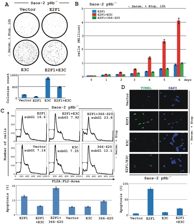 EBNA3C inhibits E2F1 mediated anti-proliferative activities in Saos-2 (p53 −/− pRb −/− ) cells. A–D) Saos-2 (pRb −/− ) cells were electroporated with expression plasmids for either empty vector, flag-E2F1, myc-EBNA3C or myc-EBNA3C residues 366–620 as indicated. A–C) Cells were additionally transfected with a GFP expression vector. At 24 h post-transfection cells were exposed to serum starvation and 5 µM etoposide treatment for 12 h, followed by selection with G418 for 2 weeks. A) After a 2-week selection, cells were fixed on the plates with 4% formaldehyde and scanned for GFP expressed colonies using Typhoon 9410 imaging system. The area of stained cells in each dish was calculated by Image J software. B) Approximately 0.1×10 6 of flag-E2F1 and flag-E2F1 plus either full-length myc-EBNA3C or myc-EBNA3C residues 366–620 expressing selected cells from each set of samples were plated into each well of the 6-well plates and cultured for 6 days after 12 h treatment with serum starvation and 5 µM etoposide. Viable cells from each well were counted by trypan blue exclusion method daily using an automated cell counter. C) Selected cells with similar treatment as A) were subjected to flow cytometry analyses as described in ' Materials and Methods ' section. Bar diagrams represent average sub G1 values of two independent experiments. D) Saos-2 cells transfected with different combinations of expression plasmids as described in panel A) and selected similarly as stated above with G418. After genotoxic stress with serum starvation and 5 µM etoposide treatment for 12 h cells were fixed and subjected for TUNEL assay as per manufactures protocol. A–D) All panels are representative of two independent experiments and bar diagrams represent the average data of two independent experiments with standard deviation.