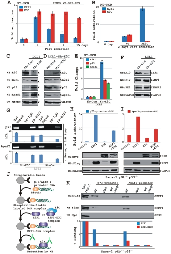 EBNA3C blocks p73 and Apaf-1 expressions by inhibiting the DNA-binding ability of E2F1 to its targeted promoters in LCLs. A–B) Approximately10 million human peripheral blood mononuclear cells (PBMC) were infected by either A) wild-type (WT) BAC <t>GFP-EBV</t> or EBNA3C knockout BAC GFP-EBV (ΔE3C) for 4 h. At indicates times post-infection cells were harvested, total RNA was isolated and subjected to cDNA preparation as per manufacturer's instruction followed by quantitative real-time PCR analysis for detecting E2F1 and EBNA3C transcript levels. Each sample was tested in triplicate and data obtained from two independent experiments with two different donors and expressed as the difference of the quantity of specific transcripts to the quantity of GAPDH transcript as control. The fold change in expression of each mRNA relative to GAPDH transcript was calculated based on the threshold cycle (Ct) as 2 − Δ(ΔCt) , where ΔCt = Ct target −Ct GAPDH and Δ(ΔCt) = ΔCt test sample −ΔCt control sample . C) Approximately 10 million of EBNA3C and control knockdown LCLs were harvested and total cell proteins were subjected to western blot (WB) analysis using indicated antibodies. D) Approximately 20 million of EBNA3C knockdown LCLs were <t>transfected</t> with 50 ìg of plasmids expressing either vector control or myc-tagged EBNA3C via electroporation. Transfected LCLs were cultured in RPMI medium with 10% FBS for 48 h and subjected for western blot analysis using indicated antibodies. E) Total RNA was isolated from indicated LCLs, subjected to cDNA preparation as per manufacturer's instruction followed by quantitative real-time PCR analysis for detecting E2F1, p73 and Apaf-1 transcript levels as similar to A–B). F) Approximately 10 million of EBNA3C and control knockdown LCLs were harvested and total cell proteins (50 µg) were subjected to western blot analysis using indicated antibodies. G) A ChIP assay was performed using either control or EBNA3C knockdown LCLs. Material immunopre