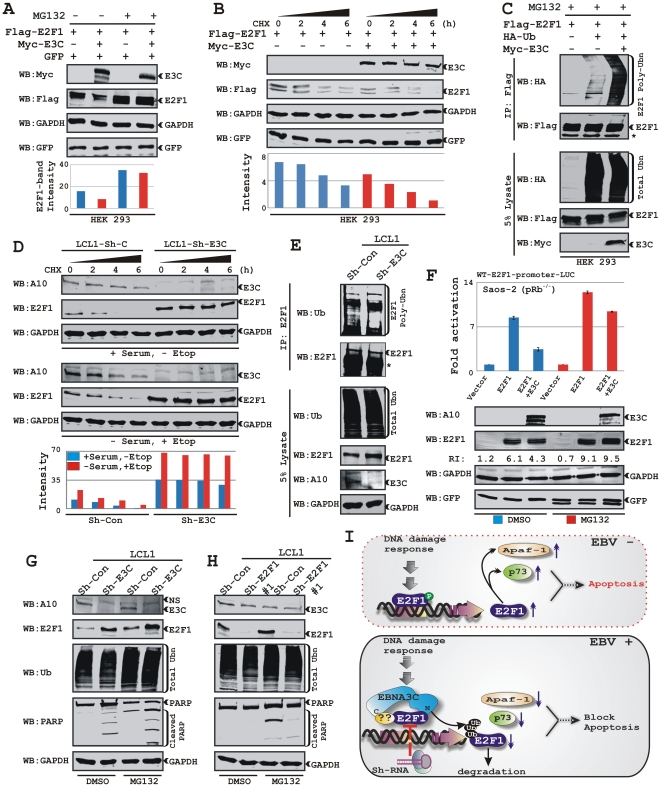 EBNA3C expression leads to E2F1 destabilization via an ubiquitin-proteasome dependent pathway. A) HEK 293 cells were co-transfected with flag-E2F1 and either vector control (lanes 1 and 3) or myc-EBNA3C (lanes 2 and 4) with GFP expressing vector. At 36 h posttransfection, samples were treated with either 20 µM MG132 (+lanes) or DMSO (−lanes) for 6 h and resolved by 10% SDS-PAGE and probed with the indicated antibodies. B) HEK 293 cells were similarly transfected with expression plasmids for flag-E2F1, myc-tagged EBNA3C and GFP plasmids as indicated. At 36 h post-transfection, cells were treated with 40 µg/ml cyclohexamide (CHX) for indicated lengths of time. 5% of the lysate from each sample were resolved by 9% SDS-PAGE and western blotted with indicated antibodies. C) 15 million HEK 293 cells transfected with different combinations of expression plasmids as indicated. Cells were harvested at 36 h, and total protein was immunoprecipitated (IP) with flag antibody and samples were resolved by 9% SDS-PAGE. D) Approximately 10 million of stably generated LCLs with either Sh-control (Sh-Con) or Sh-EBNA3C (Sh-E3C) were incubated with 100 µg/ml CHX for indicated lengths of time in RPMI medium containing either 10% FBS (+serum/DMSO) or 0.1% FBS plus 5 µM etoposide (−serum/+Etop) at 37°C. 10% of the lysate from each sample were resolved by 9% SDS-PAGE and western blotted with indicated antibodies. E) Approximately 50 million LCLs with either control Sh-RNA (Sh-Con) or EBNA3C directed Sh-RNA (Sh-E3C) were harvested after 10 h incubation with proteasome inhibitor MG132 (40 µM). Cells were lysed and E2F1 was immunoprecipitated (IP). Samples were resolved by 9% SDS-PAGE and western blotting (WB) was done by stripping and reprobing the same membrane. F) Saos-2 cells transfected with the WT E2F1 reporter plasmid in the presence of either flag-E2F1 alone or flag-E2F1 plus myc-EBNA3C expressing plasmids followed by incubated with either DMSO or MG132 (20 µM) were subjected for repor