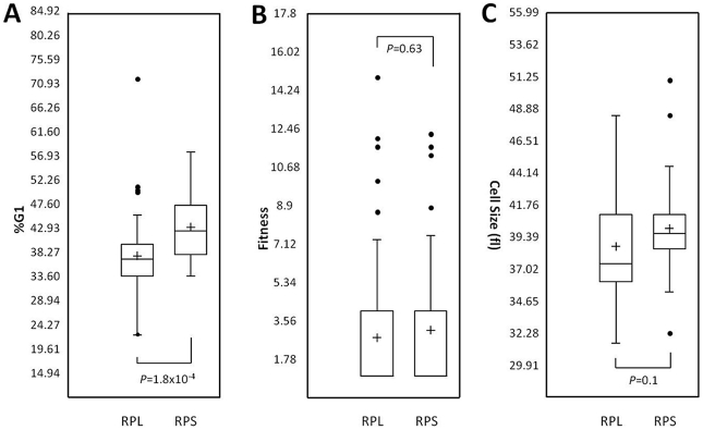 Phenotypes of ribosomal proteins. We grouped strains (n = 53) that lack ribosomal proteins of the 60S subunit (RPL), against strains (n = 43) that lack ribosomal proteins of the 40S subunit (RPS). We then compared the two groups based on the %G1 DNA content (this study; A), fitness (data from Giaever et al [33] ; B), or haploid median cell size (data from Jorgensen et al [23] ; C). The box plots were generated with Microsoft Excel. The box represents the middle 50% of the data range (from the 25th percentile to the 75th percentile). The band within the box is the median, while the cross shows the mean. The ends of the whiskers represent the lowest datum still within 1.5 of the interquartile range (IQR) of the lower quartile, and the highest datum still within 1.5 IQR of the upper quartile. Any data points not included within the whiskers are shown as outliers, displayed as filled circles. For the fitness data in B, the lower quartiles are not visible, because they are equal to 1 (i.e., most strains have fitness values similar to WT). The P values were calculated from t tests.