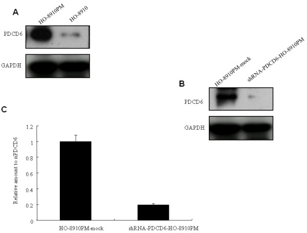 A. Western blotting analysis showed protein expression of PDCD6 was higher in HO-8910 PM cells than that in HO-8910 cells . GAPDH was used as a loading control. B. Western blotting analysis showed protein expression of PDCD6 in shRNA-PDCD6-HO-8910 PM was decreased compared with that in control HO-8910 PM-mock. GAPDH was used as a loading control. C. <t>qRT-PCR</t> results showed mRNA expression of PDCD6 in shRNA-PDCD6-HO-8910 PM was inhibited by 80% compared with that in HO-8910 PM-mock.