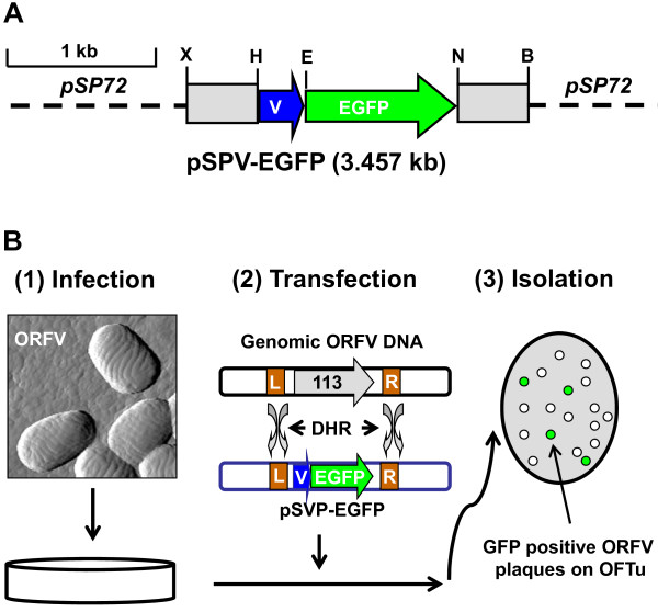 Infection/transfection scheme for generation of recombinant ORFV . A . Construction of the recombinant transfer vector pSPV-EGFP. A cassette of selectable markers of E.coli neo and gusA genes in pZIPPY-neo/gus vector was replace by the EGFP reporter gene amplified from pEGFP-N1 vector (Clontech, CA) to generate the recombinant vector pSPV-EGFP. B . Generation of recombinant ORFV. OFTU Cells are infected with OV-IA82 and transfected with the transfer vector pSPV-113LF-EGFP-113RF. The resultant virus mixture is then plated on OFTu cells to eliminate OV-IA82 and the desired viruses were isolated. MCS: Multiple cloning sites. B: BglII; E: EcoRI; H: HindIII; N: NotI; and X: XhoI. V: vaccinia virus (strain WR) VV early/late protomer VVp7.5. L: Up stream of ORFV113 un-transcription region; R: Down stream of ORFV113 un-transcription region. DHR: double homologous recombination.