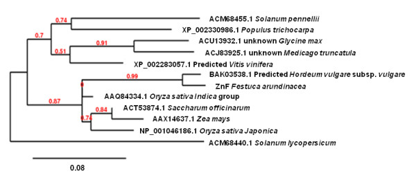 Phylogenetic tree of FaZnF and related proteins . The top BLAST hits from different genera (only the top hit from each genera is included) obtained when FaZnF was used for a protein BLAST analysis at NCBI [ 50 ]. The protein most closely related to FaZnF is a predicted protein from Hordeum vulgare which was identified in a subtraction cDNA library from seedling shoot and root treated with ABA. The scale bar represents .08 amino acid substitutions per site, or 8 amino acid differences per 100 amino acids.