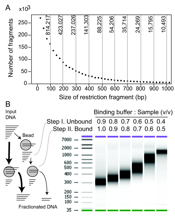 Size fractionation of digested DNA by affinity beads . A. Counts of restriction fragments by size after in silico digestion of the Oryza sativa Os6.1 genome with NlaIII . The Y-axis of the graph displays the count per 25 bp bins. The graph top axis displays the total count for in silico slices of 100 bp. The graph demonstrates how a size fraction from 100 to 200 bp would contain more than ten times the number of fragments found in the 600 to 700 bp fraction. B. Fractionation strategies with SPRI magnetic beads. On the left, a bottom-delimited size fraction of the digested input DNA can be taken in a single step (thicker arrows path), or a sliced size fraction in two steps (thinner arrows path). Slicing is demonstrated in a digital electrophoretogram on the right. In practice, bottom delimiting in a single step is the most practical solution since the larger size fragments contribute relatively less to the final library.