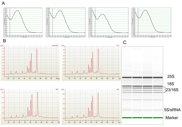 Assessment of quality of HTP purified RNA . The quality of the total RNA purified using the HTP RNA extraction procedure was analysed by UV spectrometry using a NanoDrop (A) and an Agilent Bioanalyzer (B, C) which demonstrated the consistent quality of the RNA. A: Measured A 260/280 ratios for the four samples shown were 2.05, 2.07, 2.03 and 2.02 while the corresponding figures for the A 260/230 ratios were 1.63, 1.39, 1.12 and 1.44. B: Representative electropherograms and C: corresponding digital electrophoresis gels images show clear sharp ribosomal RNA peaks/bands typical of high quality Arabidopsis RNA. In addition to the cytoplasmic 25S and 18S rRNA peaks, other peaks corresponding to 23S and 16S rRNA from chloroplasts and 5S and small rRNA are evident.