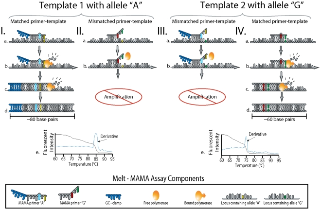 """The principle of the Melt-MAMA PCR reaction. Four different scenarios involving two alternate SNP allele templates (I II vs. III IV) and the interaction of Allele-Specific (AS) PCR amplification using MAMA primers. The annealing of AS-MAMA primers to their allelic templates is shown with one primer labeled with a 5′ GC-clamp (Ia) whereas the other is not (IVa). (Ib and IVb) <t>Taq</t> Polymerase extends from the 3′ matched AS-MAMA primer despite the antepenultimate destabilizing nucleotide. (Ic and IVc) The second PCR cycle replicates from a newly synthesized <t>DNA</t> template made in the previous step (Ib and IVb). With the synthesized DNA serving as the template, a perfect primer-template complex is formed eliminating the antepenultimate destabilizing mismatch observed in Iab and IVab. At PCR endpoint (Id and IVd), the amplicons generated from the 3′ matched AS-MAMA primer greatly outnumbers the amplicons generated by the mismatched AS-MAMA primer. Temperature-dissociation curve plots (Ie and IVe) of each AS-PCR product (Iabcd, IIab and IIIab, IVabcd), showing the fluorescent intensity and the rate of fluorescent intensity change (derivative) as a function of temperature. For each allelic template reaction (I II vs. III IV), the melt profiles (Ie and IVe) show only a single change in fluorescent intensity. This indicates the amplification of the perfect-matched amplicon and little to no amplification of the mismatched amplicon. The GC –clamp """"labeled"""" amplicons dissociate at higher temperatures (∼3°C to 5°C) than non-GC amplicons. Nonproductive primer annealing is shown for an AS-MAMA primer (IIa) and a GC-clamp AS-MAMA primer (IIIa) binding with their respective corresponding mismatched templates. The lack of Watson-Crick base pairing at two 3′ positions (the antepenultimate nucleotide at the 3′ end) of the AS primer introduces instability at this region (IIb and IIIb). This prevents efficient extension by the polymerase, which retards or prevents product ampli"""
