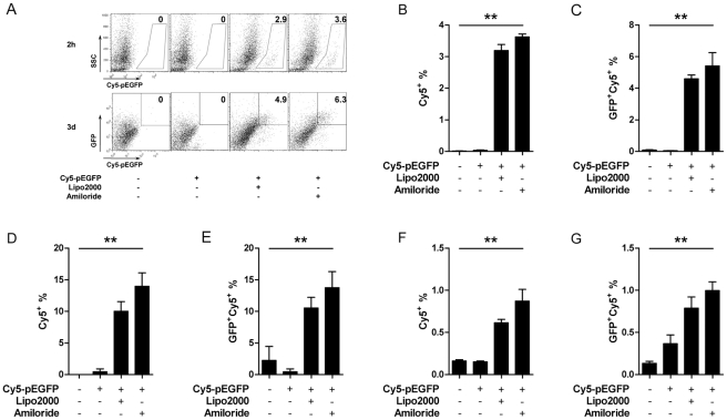 Amiloride facilitates plasmid entry in vitro . Cy5-pEGFP entry into cell lines with or without 1 mM amiloride was analyzed after 2 h and is shown as the percentage of cells that were Cy5 + . Expression of GFP was analyzed at day 3 and is shown as percentage of EGFP + Cy5 + , on RAW264.7 (A, B, C), JAWSII (D, E), and DC2.4 (F, G). Data represent one of three independent experiments.