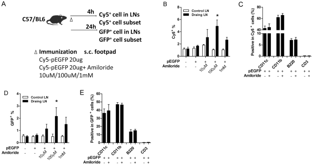Amiloride accelerates plasmid entry in vivo . Naïve C57 mice (n = 3) were immunized with Cy5-pEGFP s.c. in hind footpad with (right side) or without (left side) amiloride. Lymph node cells were collected after 4 h (Cy5 + cells) and after 24 h (GFP + cells) and examined for proportion (B, D) and subtype (C, E) of stained cells from both draining and control lymph nodes. * in B and D, statistical significance between control and draining lymph nodes in all treated groups.