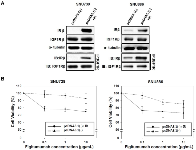 Effect of selective IR overexpression on HR levels and the anti-proliferative effect of figitumumab in IR-transfected cells. A) Effect of IR transfection on IGF1R/IR HR levels in IR-negative cell lines. Cells were transfected with the pcDNA3.1(-) expression vector containing wild-type IR cDNA. An equal amount of lysates from cells transfected with either the empty vector or pcDNA3.1(-) containing IR cDNA was subjected to immunoprecipitation with an anti-IGF1R antibody followed by Western blot analyses of IRβ and IGF1Rβ. B) Effect of IR-transfection on figitumumab sensitivity. Transfected cells were plated onto 96-well plates, treated with figitumumab for 5 d, and subjected to MTT assays. Solid triangle symbol with dashed lines = empty vector (pcDNA3.1-), Solid circle symbols with lines = pcDNA3.1(-) IR. Bar = ±SE. Mean values were derived from six replicates. Experiments were repeated in triplicate.