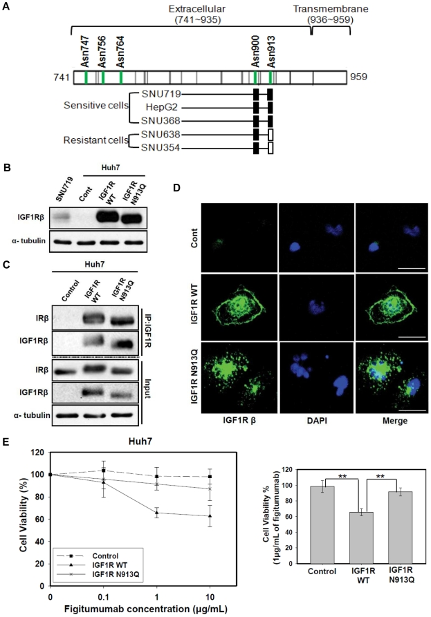Identification of a specific N-linked glycosylation site (N913) of IGF1R in sensitive cell lines and its functional importance in the response to figitumumab. A) Identification of the NLG site occupancy of IGF1Rβ subunits. IGF1Rβ subunits containing N-linked glycosylation sites (Asn747, Asn756, Asn764, Asn900, and Asn913) were isolated from both drug sensitive (SNU719, HepG2 and SNU368) and resistance (SNU638 and SNU354) cells and identified by tandem MS by an increase of 1.0 Da from the corresponding mass of Asn as a result of conversion from N-linked glycosylated Asn to Asp. All the NLG at Asn900 in both sensitive and resistance cells were determined to be occupied with N-glycosylation (filled rectangle). NLG at Asn913 of the sensitive cell lines (HepG2, SNU719, and SNU368) were determined to be occupied with N-glycosylation (filled rectangle), whereas N-glycosites at Asn913 of the resistance cell lines (SNU638 and SNU354) were found to be unoccupied with N-glycosylation. (open rectangle). B) Effect of the N913Q site mutation on electrophoretic mobility patterns of IGF1Rβ. Huh7 cells (an IGF1R-negative cell line) were transfected with the empty pcDNA3.1(-) expression vector(Control), pcDNA3.1(-) containing wild-type IGF1R cDNA (IGF1R WT), or pcDNA3.1(-) with IGF1R mutation type cDNA (IGF1R N913Q). An equal amount of the cell lysate from the transfected cells was then subjected to Western blot analysis for IGF1Rβ. C) Effect of N913Q site mutation on the formation of IGF1R/IR heterodimeric receptors. An equal amount of the cell lysate from transfected cells was then subjected to immunoprecipitation (IP) with anti-IGF1R antibody followed by Western blot analysis for IRβ and IGF1Rβ. Input = total cell lysate without IP. D) Effect of N913Q site mutation on IGF1R localization. An immunofluoresence assay was conducted to observe the localization of IGF1R. IGF1R reactivity was visualized by confocal laser scanning microscopy (Scale bar: 30 µm). Representative images are s