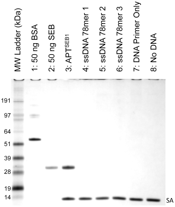 "APT SEB1 binds to <t>SEB,</t> but not BSA. Aptamer-precipitation of SEB from 10-fold excess of BSA using several DNA sequences was visualized by 4–12% SDS-PAGE with silver stain. Dynabeads® M-270 Streptavidin magnetic beads coated with APT SEB1 (lane 3), random 78-base ssDNA (lanes 4–6), PCR forward primer (used in this study, lane 7), and nothing (lane 8), were incubated in 500 µl <t>PBS-T</t> incurred with 10 µg BSA and 1 µg SEB. After washing the Dynabeads with PBS-T, the protein eluate (lanes 3–8) was loaded onto the SDS-PAGE gel. Lanes 1 and 2 contain 50 ng of standard BSA and SEB, respectively. The protein bands labeled as ""SA"" represent the monomer of streptavidin liberated by the elution protocol."