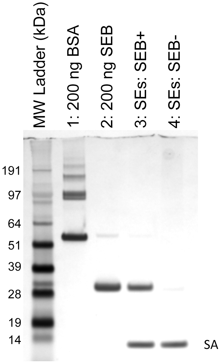 "APT SEB1 is selective for SEB but not other closely related enterotoxins. Aptamer-precipitation of SEB from a mixture of enterotoxins was visualized by 4–12% SDS-PAGE with silver stain. Dynabeads® M-270 Streptavidin magnetic beads coated with APT SEB1 were incubated in 1000 µl PBS-T incurred with 1 µg each of SEA, SEC 1 , SEC 2 , SEC 3 , SED, and SEE. The aptamer-precipitation was carried out either with (lane 3) or without (lane 4) 1 µg SEB present in the mixture. After washing the Dynabeads with PBS-T, the protein eluate (lanes 3–8) was loaded onto the SDS-PAGE gel. Lanes 1 and 2 contain 200 ng of standard BSA and SEB, respectively. The protein bands labeled as ""SA"" represent the monomer of streptavidin liberated by the elution protocol."