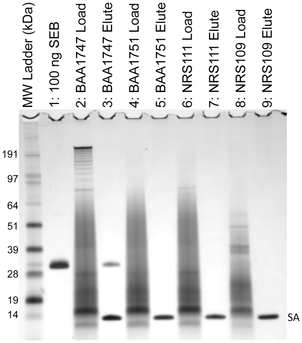 "APT SEB1 is selective for SEB within a complex mixture. The toxin-rich cell-free culture supernatant from four S. aureus strains was assayed for the presence of SEB by aptamer-precipitation. Five microliters of each culture supernatant was loaded onto an 4–12% SDS-PAGE gel to determine the protein content (lanes 2, 4, 6, 8). Three milliliters of each culture supernatant was incubated with APT SEB1 -coated Dynabeads. After washing with PBS-T, the resultant protein eluate from the APT SEB1 -coated Dynabeads was analyzed (lanes 3, 5, 7, 9). By PCR and ELISA analysis (Sandra Tallent, personal communication) the four strains potentially express a total of 17 enterotoxins and toxic shock syndrome toxin. However, only strain BAA1747 contains the gene for SEB. The protein bands labeled as ""SA"" represent the monomer of streptavidin liberated by the elution protocol."