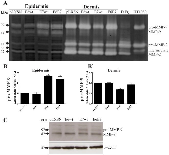 HPV-16 E7 up-regulates <t>MMP-9</t> activity in organotypic cultures. Primary HFKs were transduced with pLXSN-based retroviral vectors expressing HPV16 E6wt and/or E7wt. Cells were then differentiated in organotypic cultures for 9 to 11 days. A, Determination of gelatinase activity in organotypic cultures homogenates (epidermis separated from dermis). Equal amounts of proteins were loaded. Note the increase in MMP-9 gelatinase activity in HPV-16 E7wt and E6E7- expressing epidermis. B-B′, densitometry of pro-MMP-9 bands in epidermis and dermis, respectively. C, MMP-9 levels in epidermis homogenates were determined by Western blot. P
