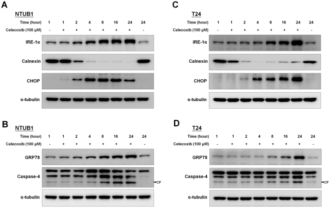 Effects of celecoxib on the ER stress-related signaling molecules IRE-1α, GRP78, CHOP, and caspase-4 in NTUB1 and T24 cells. In (A) and (B), NTUB1 cells were exposed to mock (untreated) and 100 µM celecoxib. The cell lysates were harvested at each time point and analyzed by Western blotting with specific antibodies to detect ER stress-related molecules IRE-1α, CHOP, calnexin, GRP78, and caspase-4,. CF is the abbreviation of cleaved form. (C) and (D) showed the similar experiments performed in T24 cells. Results shown are representative of at least four independent experiments.