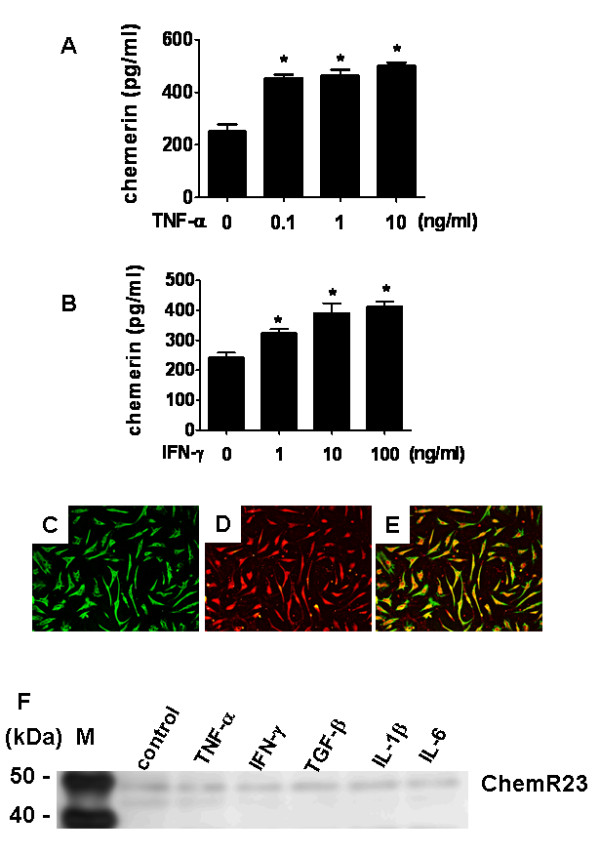 Expression of chemerin and ChemR23 by rheumatoid arthritis fibroblast-like synoviocytes . (A) and (B) Chemerin expression stimulated by TNF-α (A) or IFN-γ (B) and evaluated by ELISA using supernatants of cultured fibroblast-like synoviocytes (FLSs) isolated from synovial tissue samples taken from rheumatoid arthritis (RA) patients ( n = 4). FLSs (2 × 10 4 cells/well) were stimulated at 37°C for 48 hours with TNF-α (0.1, 1 or 10 ng/ml) (A) or IFN-γ (1, 10 or 100 ng/ml) (A). Data in (A) and (B) are presented as means (± SEM) of one of four independent experiments analyzed in triplicate. * P