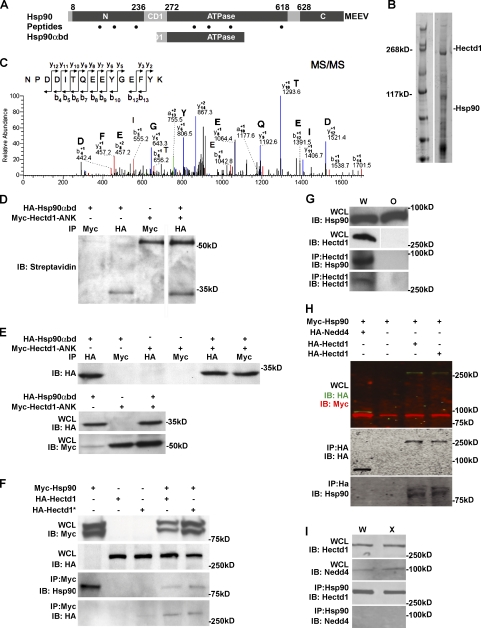 Hectd1 physically interacts with Hsp90α. (A) Yeast two-hybrid screening of an E11.5 embryonic mouse cDNA library using Hectd1 ANK as bait detected Hsp90α (Gene ID: Hsp90aa1). Two identical clones of Hsp90α consisting of amino acids 241–459 (Hsp90αbd) of the 732–amino acid Hsp90α protein partially overlap with the first charged domain (CD1, amino acids 236–272) and the ATPase domain (amino acids 272–618) of Hsp90α. Black dots indicate locations of Hsp90 peptide fragments found by LC-MS analysis: NPDDITQEEYGEFYK (300–315), TLTIVDTGIGMTK (88–100), KADLINNLGTIAKS (100–113), and GVVDSEDLPLNISR (387–400). Peptides common to Hsp90β include: KEDQTEYLEERR (190–201), RDNSTMGYMMAKK (620–632), and YIDQEELNK (284–292). The C-terminal amino acid sequence MEEVD of Hsp90α is essential for regulated secretion. (B and C) Liquid chromatography and tandem mass spectrometry (LC-MS/MS) proteomic screening of Hectd1-binding proteins from E10.5 Hectd1 W embryo head lysates. Hectd1 was immunoprecipitated and associated proteins were resolved by 3–8% Tris-Acetate SDS-PAGE and visualized by Coomassie staining. (B) Individual bands from the Coomassie-stained gel were subjected to tryptic proteolysis, and the resulting peptides were analyzed by LC-MS/MS. (C) Representative MS/MS of a 1,293.54 D peptide. This and six other peptides (dots in A) with high XC scores (3.3–3.7) were identified as belonging to Hsp90α and Hsp90β when searched against the mouse Uniprot protein database using the Sequest algorithm as diagrammed in A. (D) Hsp90αbd binds to Hectd1 ANK in rabbit reticulocyte lysates. In vitro translated, biotinylated Hsp90αbd and Hectd1 ANK were bound and immunoprecipitated using the indicated antibodies and detected by Western blotting with streptavidin-HRP. (E and F) Hectd1 binds to Hsp90 in HEK293T cells. Cells were transfected and immunoprecipitated proteins were subjected to Western blot analyses as indicated. (E) Hsp90αbd binds to Hectd1 ANK in HEK293T cells. (F) Full-length Hsp90 and Hectd1 bind in HEK293T cells. (G) Hsp90 binds to Hectd1 in the developing embryo. Hectd1 was immunoprecipitated from lysates prepared from E12.5 Hectd1 W and Hectd1 O embryo heads and subjected to Western blot analysis as indicated ( n = 4). (H and I) Hsp90 binds to Hectd1 but not the related HECT domain containing Nedd4 Ub ligase. (H and I) HEK293T cells were transfected with HA-Nedd4 or HA-Hectd1 along with Myc-Hsp90. They were then HA immunoprocipitated and subjected to Western blotting (H), or Hsp90 (I) was immunoprecipitated from E12.5 Hectd1 W and Hectd1 O embryo head lysates followed by Western blotting to detect Nedd4 and Hectd1. All data are representative of three independent experiments unless otherwise indicated. W, Hectd1 +/+ ; O, Hectd1 opm/opm ; X, Hectd1 X/X ; WCL, whole cell lysate; IB, immunoblot; IP, immunoprecipitation.