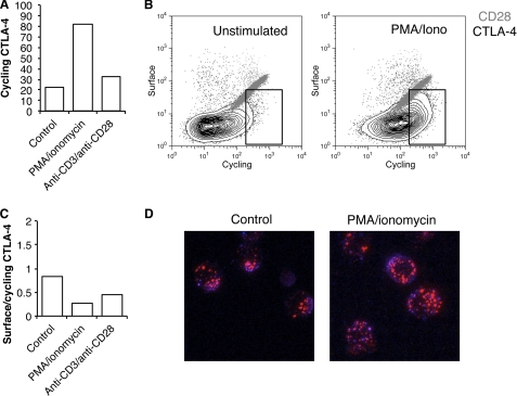 Stimulation of T cell blasts leads to a mobilization but not stabilization of CTLA-4 at the cell surface. A , human CD4+ T cell blasts were generated using anti-CD3 anti-CD28 beads for 4 days. Cells were then isolated and re-stimulated with PMA+ ionomycin or fresh anti-CD3 anti-CD28 beads for 3 h at 37 °C in the presence of anti-CTLA-4 PE before analysis by flow cytometry. B , T cell blasts were re-stimulated as in A in the presence of anti-CTLA-4 PE or anti-CD28 PE at 37 °C. Cells were then placed on ice, and the remaining surface receptors were labeled by incubation with Alexa647-conjugated anti-mouse secondary antibody. Cells were analyzed by flow cytometry. The boxed area indicates an increase in CTLA-4 labeling due to stimulation. C , the ratio of surface to labeled fluorescence for cells labeled in B is plotted. D , cells stained for CTLA-4 as in B were fixed and then visualized by confocal microscopy for 37 °C staining ( red ) and surface staining ( blue ).