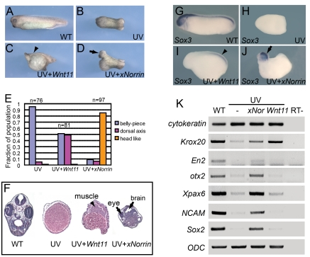 xNorrin induces anterior CNS formation in ventralized embryos. (A–D) xNorrin mRNA induces anterior neural tissues, while Wnt11 mRNA restores only a partial dorsal axis (without anterior structures) in UV-irradiated embryos. (A) A wild-type embryo (stage 33); (B) an embryo UV-irradiated (50 µJ) at the vegetal pole; (C) a UV-irradiated embryo injected with Wnt11 mRNA (500 pg) into one cell at the four-cell stage (arrowhead: partial dorsal axis); (D) a UV-irradiated embryo injected with xNorrin mRNA (500 pg) as in (C) (arrow: head). (E) Summary of (A–D). Fraction of the population within each group is indicated. (F) Histological analysis of stage 40 embryos. Arrowhead: muscle; arrows: brain and eye. (G–J) Whole-mount in situ hybridizations to Sox3 . (G) A wild-type (WT) embryo (100%, n = 65); (H) a UV-treated embryo (4% Sox3 positive, n = 70); (I) a UV+ Wnt11 (500 pg) rescued embryo (45% Sox3 positive, n = 77); (J) a UV+ xNorrin (500 pg) rescued embryo (83% Sox3 positive, n = 69). All embryos are shown with the anterior pole to the left. Arrowhead: posterior neural structure; arrow: anterior neural structure. (K) Neural marker expression detected by RT-PCR. xNorrin induced expression of anterior neural and pan-neural markers ( En2 , otx2 , Xpax6 , NCAM , and Sox2 ) in UV-irradiated embryos. Wnt11 induced only the hindbrain marker Krox20 in UV-irradiated embryos.