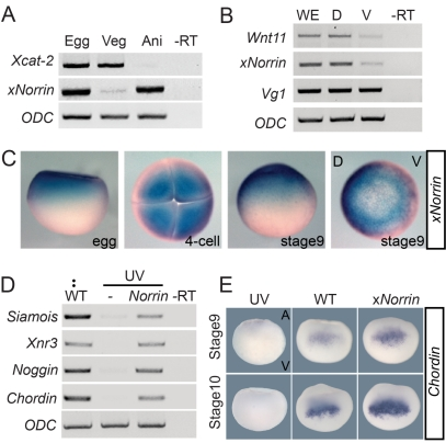 Maternal xNorrin activates the canonical Wnt signaling pathway. (A) RT-PCR analysis of mRNAs from equatorially bisected oocytes (Egg). x Norrin mRNA is present in the animal half (Ani) of fully grown oocytes, while Xcat-2 mRNA is present in the vegetal half (Veg). –RT: no reverse transcription. (B) Both xNorrin mRNA and Wnt11 mRNA are enriched in the dorsal cells of 16-cell embryos. Embryos are evenly bisected into dorsal and ventral halves. D, dorsal half; V, ventral half; WE, whole embryo. (C) Spatial and temporal expression patterns of xNorrin mRNA from fertilized eggs to the late blastula stage (stage 9) revealed by whole-mount in situ hybridization. (D) xNorrin mRNA (500 pg) injection into the animal region of UV-ventralized embryos at one-cell stage reactivates the expression of Siamois , Chordin , Noggin , and Xnr3 at the late blastula stage. (E) xNorrin injection enhanced Chordin expression (detected by in situ hybridization) at stage 9 (81%, n = 36) and stage 10 (80%, n = 35) compared to wild-type embryos. UV, UV-irradiated embryos; WT, wild-type embryos; xNorrin, wild-type embryos injected with xNorrin (500 pg) into the dorsal-animal region at the four- to eight-cell stage.