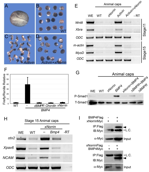 Reciprocal inhibition between xNorrin and TGF-β. (A–E) xNorrin inhibits Activin-B -mRNA-induced mesoderm formation. A wild-type (WT) embryo at a neurula stage (A). Wild-type animal caps with elongation (5% of the caps showed elongation, n = 60) (B). Elongated animal caps induced by Activin-B mRNA (25 pg) injection (82% of the injected caps showed elongation, n = 55) (C). Animal cap elongation was blocked in animal caps injected with Activin-B (25 pg) and xNorrin (200 pg) mRNAs (10% of the co-injected caps showed elongation, n = 58) (D). The Activin-B -mRNA-induced expression of mesoderm markers ( Wnt8 , Xbra , m-actin , and MyoD ) was inhibited by xNorrin (E). RNAs were injected into the animal pole of one-cell embryos, and animal caps were cut around stage 8 and cultured in 1× MMR until the sibling embryos reached neurula stage. (F and G) xNorrin inhibits BMP4 signaling. xNorrin mRNA (500 pg), like Δ BMPR mRNA (200 pg) and Chordin mRNA (100 pg), inhibited BRE-Luc reporter activity in Xenopus embryos (F). xNorrin mRNA (500 pg) inhibited BMP4-induced Smad1 phosphorylation in animal caps (G). P-Smad1, phosphorylated Smad1; T-Smad1, total Smad1; WE, whole embryo. (H) BMP4 inhibited xNorrin-induced otx2 , Xpax6 , and NCAM RNA expression in animal caps of stage 15 embryos. –RT, no reverse transcription; WE, whole embryo; WT, wild-type animal caps. (I) xNorrin interacts with BMP4. BMP4-Flag and xNorrin-Myc mRNAs or xNorrin-Flag and BMP4-Myc mRNAs were injected into adjacent cells of four-cell embryos. FLAG-tagged proteins were immunoprecipitated (IP) from later gastrula embryos with a FLAG antibody. The proteins were PAGE separated and immunoblotted (IB) with an anti-c-Myc antibody. Arrowheads indicate xNorrin-Myc (top) or BMP4-Myc (bottom). L.C., IgG light chain.