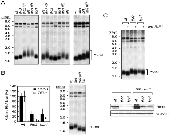 THO2 and HPR1 function in the same pathway as RIF1 to regulate telomere length. ( A ) Yeast DNA from the indicated mutations was isolated and analyzed by Southern blotting assays using the Y′ element probe. ( B ) The decreased Tel1p level does not contribute to telomere lengthening in tho2 and hpr1 cells. Total mRNA from the indicated strains was isolated and analyzed for GCN1 and TEL1 RNA levels using real time RT-PCR (left panel). Results were presented as relative levels normalized to the wild-type expression level. The bars were standard deviations determined from three independent experiments. Yeast DNA from indicated strains was analyzed for telomere length (right panel). ( C ) Overexpressing Rif1p suppresses the telomere lengthening in tho2 and hpr1 cells. Wild-type, tho2 , or hpr1 yeast cells carrying plasmids pRS426 or pRS426- RIF1 (o/e RIF1 ) were cultured at 30°C. Telomere lengths of these cells were then analyzed using Southern blotting assays (top panel). Immunoblotting analysis of the Rif1p level was also performed (bottom panel).