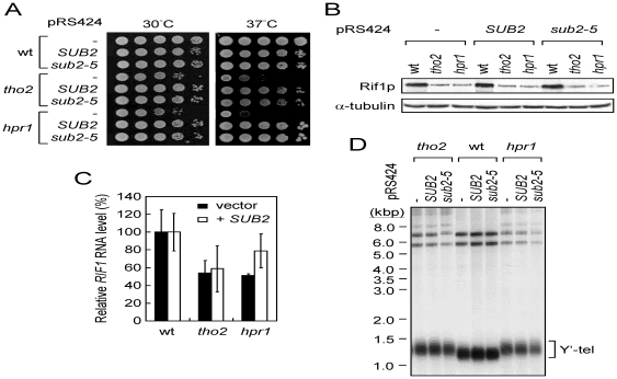 Overexpressing SUB2 cannot restore the Rif1p level and telomere length in tho2 and hpr1 cells. ( A ) Overexpressing SUB2 suppressed the growth defect of tho2 or hpr1 cells. Strains of the indicated genotypes derived from THO2 / tho2 , or HPR1 / hpr1 diploids carrying SUB2 or sub2-5 overexpressing plasmids were grown on YC plates at 30° or 37°C. ( B ) SUB2 or sub2-5 overexpression did not restore the Rif1p level in tho2 or hpr1 cells. Immunoblotting assays were carried out as described. ( C ) SUB2 overexpression did not restore the RIF1 level in tho2 or hpr1 cells. Total mRNA from the indicated strains was isolated and analyzed for the RIF1 RNA level using real time RT-PCR. Results were presented as relative levels normalized to the wild-type expression level. The bars were standard deviations calculated using data from three independent experiments. ( D ) SUB2 or sub2-5 overexpression did not restore the telomere length in tho2 or hpr1 cells. Telomere length analyses were performed as previously described.