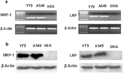 Expression study of MDR mRNA and proteins. Expression of LRP and MRP-1 mRNA (a) and proteins (b) was determined by semiquantitative PCR and western blotting respectively. RNA was extracted and PCR was performed with gene specific primers. The PCR products were run in 2% agarose gel. β-actin serves as control for equal loading. The expression of MDR proteins was further confirmed by western blot analysis (b). Cells were lysed and expression of MDR proteins was analysed by respective primary antibodies. A549 cells act as positive control for LRP and MRP-1 expression, while HEK and SIHA serve as negative control for MRP-1 and LRP expression respectively. The results are representative of three independent experiments.