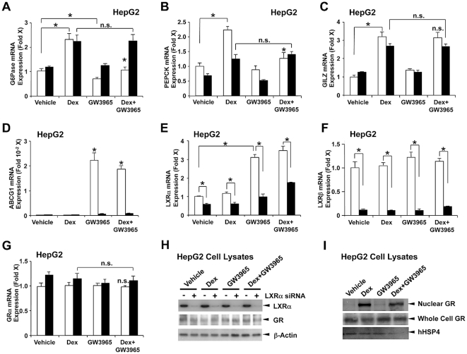Ligand activation of endogenous LXRs differentially regulates dexamethasone-induced mRNA expression of glucocorticoid-responsive genes in a gene-specific fashion. A, B, C, D, E, F and G. HepG2 cells were transfected with negative control siRNA for luciferase GL2 (white bars) or siRNAs for LXRα/β (black bars), and were treated with or without 10 −6 M dexamethasone and/or 10 −6 M GW3965. Total RNA was harvested and mRNA levels of G6Pase (A), PEPCK (B), GILZ (C), ABCG1 (D), LXRα (E), LXRβ (F) and GR (G) were measured with the SYBR-Green real-time PCR. Bars represent mean ± S.E. values of the fold induction of mRNA expression. *: p