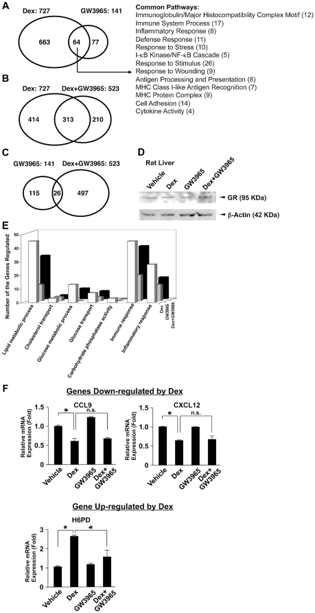 GW3965 alters dexamethasone-induced mRNA expression of its responsive genes in rat liver in microarray analysis. A, B and C: GW3965 modulates the transcriptional activity of a fraction of dexamethasone-responsive genes. Venn diagrams demonstrating the number of genes regulated by dexamethasone (Dex) and/or GW3965 (A), Dex and/or Dex+GW3965 (B) and GW3965 and/or Dex+GW3965 (C). The common biologic pathways regulated independently by Dex or GW3965 are also demonstrated in the right side of panel A. D. The 72-hour GW3965 treatment does not alter GR protein levels in the rat liver. Tissue lysates were prepared from rat livers treated with indicated compounds. GR ( upper panel ) and β-actin ( lower panel ) were visualized with their specific antibodies in Western blots. E. The number of genes regulated by Dex and GW3965 in respective biologic pathways is shown. Nomenclatures of the demonstrated biologic activities are based on the ontology of the Gene Ontology: http://www.geneontology.org . F. GW3965 does not influence mRNA expression of dexamethasone-suppressive genes in rat livers. Total RNA was harvested from rat livers and mRNA levels of Ccl9 ( left upper panel ), Cxcl12 ( right upper panel ) and H6pd ( lower panel ) were measured with the SYBR-Green real-time PCR. Bars represent mean ± S.E. values of the fold induction of mRNA expression. *: p