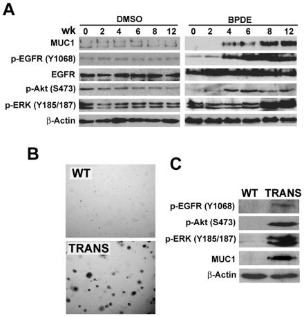 Chronic BPDE exposure activates Akt and ERK through EGFR in human bronchial epithelial cells. A , Induction of MUC1 expression and EGFR-, Akt- and ERK-activation in HBEC-2 cells by BPDE. Specifically, HBEC-2 cells were treated with the vehicle DMSO or BPDE (0.1 µM) for the indicated weeks. Western blot was the same as in A . β-Actin was detected as a loading control. B , Increased MUC1 expression and EGFR-, Akt- and ERK-activation in transformed HBEC-2 cells by BPDE. HBEC-2 cells were treated with BPDE (0.1 µM) for 12 wk and then seeded in soft agar. Colonies were grown up for 3 wk in transformed cells (TRANS). Wild-type (WT, exposed to sham) HBEC-2 cells were as a negative control. Expression of MUC1 and activation of Akt and ERK were detected by Western blot in both WT and the transfected cells. β-Actin was detected as a loading control.