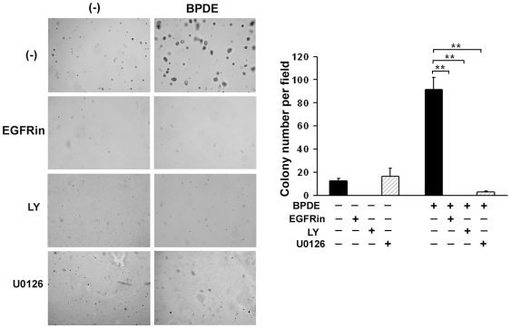 Suppression of EGFR, Akt and ERK activation inhibits BPDE-induced cell transformation. Graphical and quantitative representation of colony formation in soft agar of BEAS-2B cells exposed to BPDE (0.1 µM) and/or the indicated inhibitors (EGFRin, LY, and U0126) every two days for 1 week. Bars show the averages of colony numbers of 6 randomly selected fields. Data shown are mean ± S.D; ** P