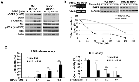 MUC1 stabilizes EGFR, contributes to BPDE-induced EGFR, Akt and ERK activation in BEAS-2B cells and protects cells from BPDE-induced cytotoxicity. A , MUC1 is required for BPDE-induced EGFR, Akt and ERK activation. Cells stably transfected with MUC1 shRNA or negative control shRNA were treated with BPDE for the indicated time periods. Activation of each protein was detected with antibodies against the phosphorylated form of the proteins. The phosphorylation sites of each protein are indicated. Total EGFR, Akt and ERK were also detected. β-Actin was detected as an input control. B , Reduced EGFR expression in MUC1 Knockdown cells. Upper left , equal amounts of total RNA from the indicated cells were detected for EGFR mRNA expression. β-Actin was detected as an input control. Upper right , Cells stably transfected with MUC1 shRNA or negative control shRNA were treated with cycloheximide (CHX, 10 µM) for the indicated time periods. EGFR protein was detected by Western blot. β-Actin was detected as an input control. Lower right , quantification of the results of Upper right . The intensity of the individual bands was quantified by densitometry (NIH Image 1.62) and normalized to the corresponding input control (β-actin) bands. EGFR expression changes were calculated with the control taken as 100%. C , BPDE-induced cytotoxicity is increased in MUC1 knockdown cells. BEAS-2B WT and MUC1 knockdown cells were treated with the indicated concentrations of BPDE for 48 hr. Cell viability was detected by LDH release and MTT assays. Data shown are mean ± S.D; **P