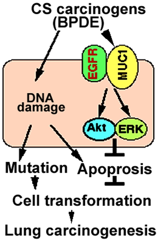 A model of MUC1-mediated EGFR activation and HBEC transformation. CS carcinogens such as BPDE trigger MUC1 expression in bronchial epithelial cells, facilitating EGFR-mediated cell survival signaling via Akt and ERK activation. Akt and ERK protect cells against DNA damage-mediated apoptosis to promote cell transformation, facilitating lung carcinogenesis.
