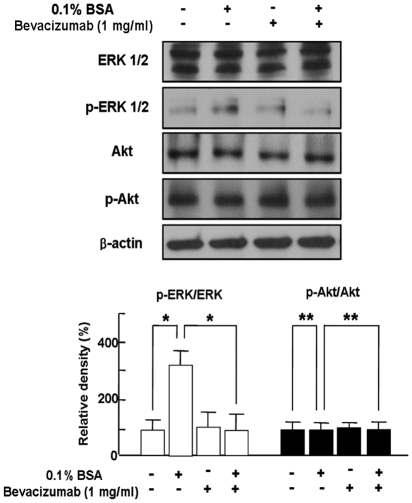 Bevacizumab-induced Inhibition of Differentiation of Retinoblastoma Cells through Blockade of ERK 1/2 Activation. SNUOT-Rb1 cells were treated with 0.1% BSA or 1 mg/ml bevacizumab. ERK 1/2, phospho-ERK 1/2, Akt, and phospho-Akt were detected by Western blot analysis. β-actin was served as a loading control. Each figure is representative ones from three independent experiments. Quantitative analysis was performed by measuring protein expression relative to the controls. Each value represents means ± SE from three independent experiments (*P