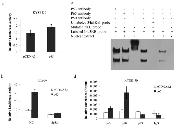 P53 is necessary for NF-κB-induced miR-34a transcriptional activity but not for NF-κB binding . (a) KYSE450 cells were transfected with pCDNA3.1or p65 in combination with the wildtype miR-34a promoter (P1). pRL-TK was used as transfection control. Cells were lysised and luciferase assay were performed 48 h after transfection. Error bars represent the standard deviations for three independent experiments. (b) pCDNA3.1or p65 and siRNA control or sip53 along with the wildtype miR-34a promoter were cotransfected in EC109. pRL-TK vectors were used as transfection control. Luciferase assay were performed 48 h after transfection. Error bars represent the standard deviations for three independent experiments. (c) EMSA was performed with nuclear extracts from KYSE450 cells using probe corresponding to the third κB site (34a3ΚB) in miR-34a promoter region. Competition and supershift assays against anti-p53, p65 and p50 antibody were also shown. (d) Chromatin derived from KYSE450 cells transfected with p65 or control vectors were immunoprecipitated with anti-p65, p50, p53 and IgG antibodies. Relative enrichment of each transcription factor-bound DNA was detected by qPCR using 34aΚB3 primers. Shown were results normalizing to input DNA.